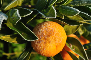 frost damage in citrus orchard