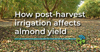 How post-harvest irrigation affects almond yield
