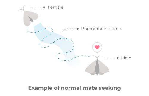 Example of normal mate seeking, where the pheromone plume produced by the female leads the male to her.