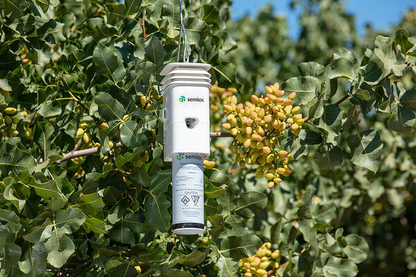 A white Semios pheromone aerosol dispenser hanging from a pistachio tree