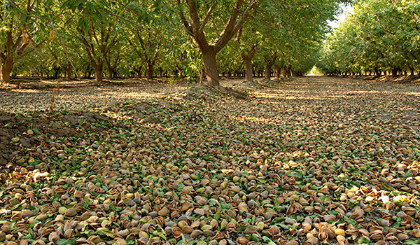 Floor of an almond orchard covered with almonds after harvest.