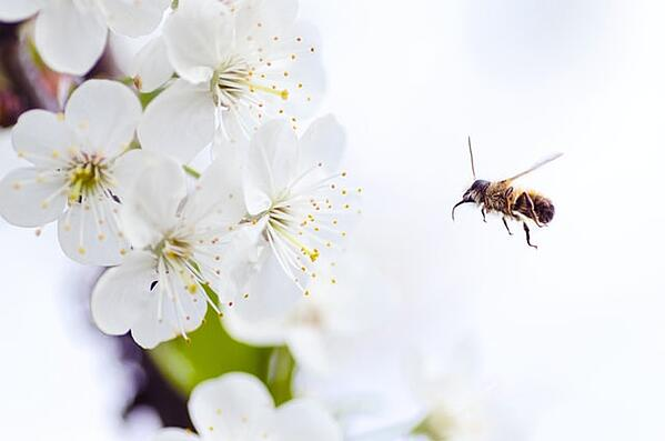 A bee pollinating in an orchard during bloom