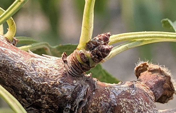 A zoomed in shot of dormant buds on an almond tree branch.
