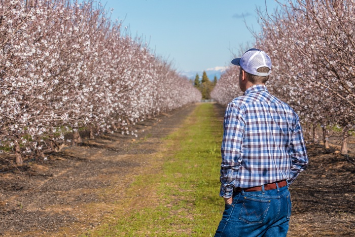 farmer in blooming almond orchard