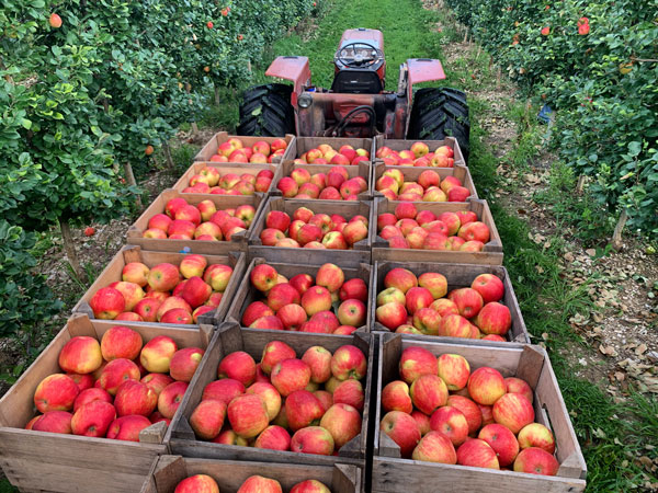 Honeycrisp apples in boxes in the orchard