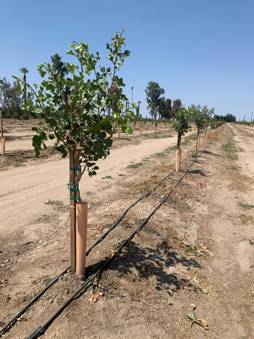 young pistachio trees-1