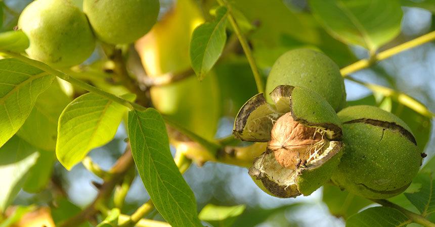 banner_crop-walnut-860x450-2-860x450
