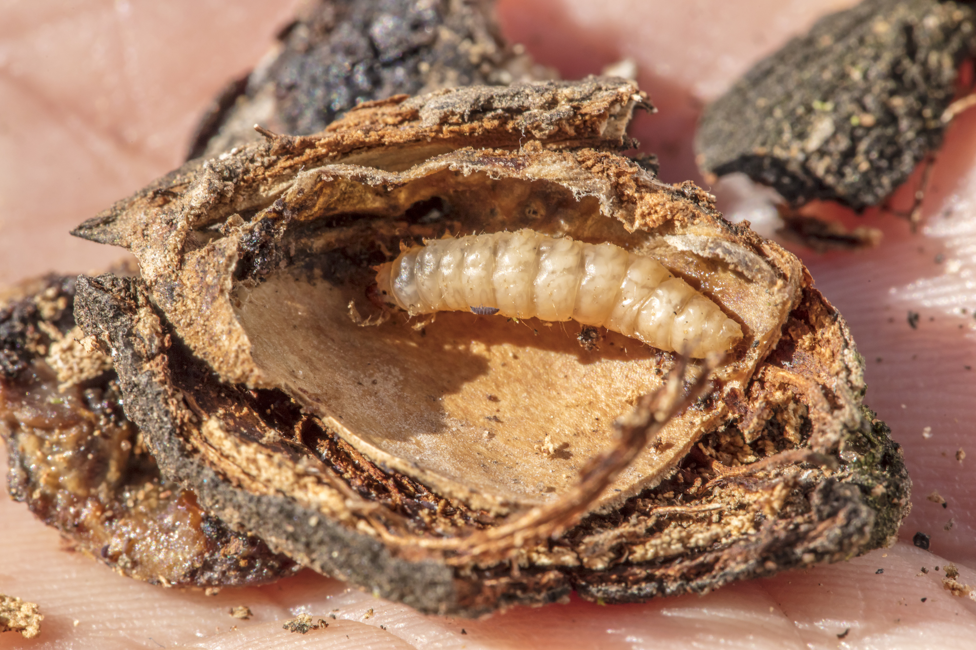 Semios Introduces First Aerosol Organic Pheromone for the Control of Navel Orangeworm in Almond, Pistachio, Walnut, and Fig Crops
